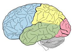 Lobes of the brain NL.svg